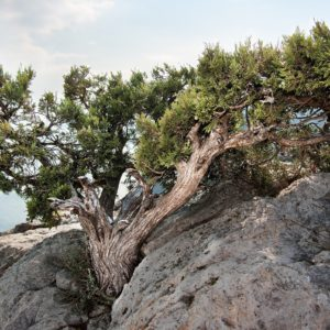 rock, sea, juniper
